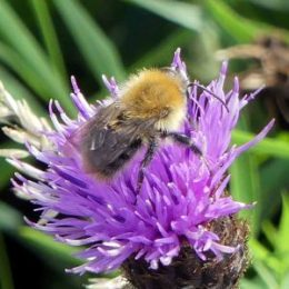 Common carder bee-a little faded