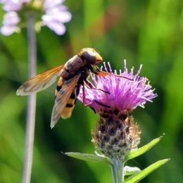 170908-1510-BEICT-Hoverfly-Volucella zonaria 3