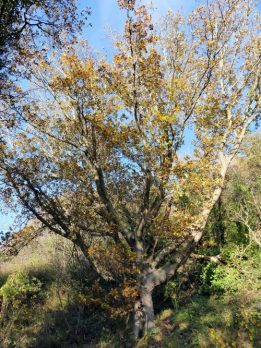 Oak tree on November 19th