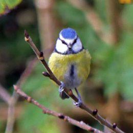Blue tit - Parus caeruleus