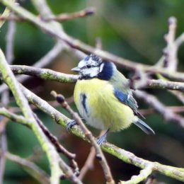 Blue tit with white in crown & freckled face