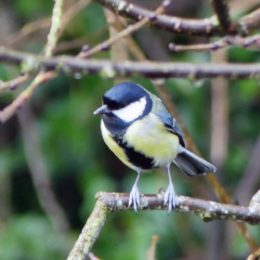 171204-BEDC-1249-Great tit 2