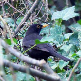 180101-1143-Blackbird