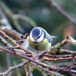 Blue tit with dark 'frown' above bill