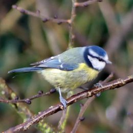 Blue tit with dark feathers on right side