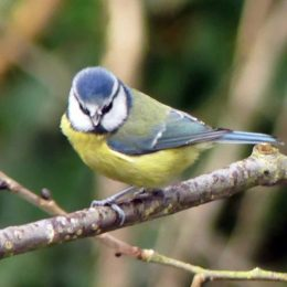 Blue tit with white 'nostrils' above beak