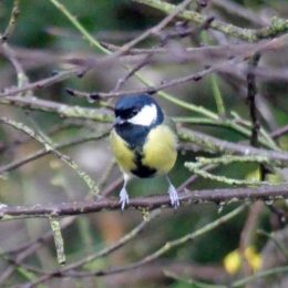 171222-0828a-Great tit