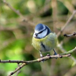 'Normal' Blue tit with leg-ring