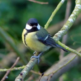 180103-BEDC-Great tit
