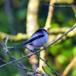 180107-BEDC-Long-tailed tit