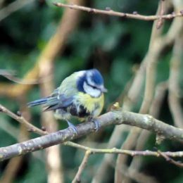 Blue tit with severe feather problem