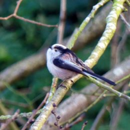 180117-BEDC- Long-tailed tit 4