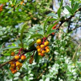 Barberry-Berberis vulgaris