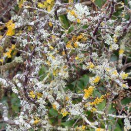 180218-BEWT-1343-Lichens on blackthorn