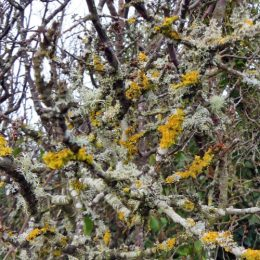 180218-BEWT-1344-Lichens on blackthorn