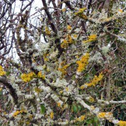 180218-BEWT-1344-Lichens on blackthorn