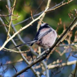 180223-OCWN-1353-Fairy Glen-Long-tailed tit 1