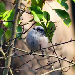 180223-OCWN-1353-Fairy Glen-Long-tailed tit