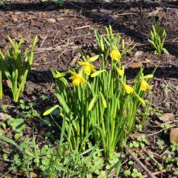 180308-OCWYN-River Colwyn 20-Daffodils