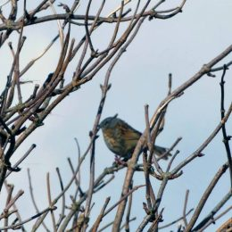 180328-GO-1300-Dunnock singng from Elder 1