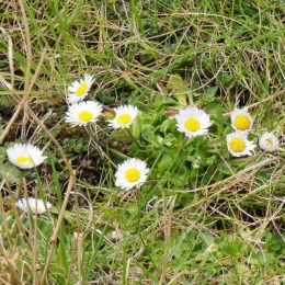 Common daisy-bellis perennis