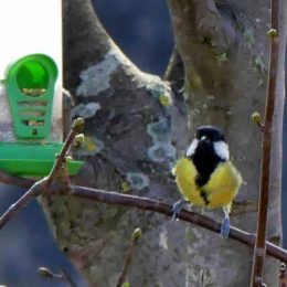 Great tit at feeder