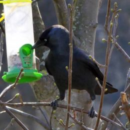 Jackdaw at feeder