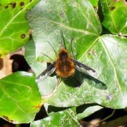 Bee-fly-Bombilius major