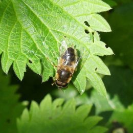 Eristalis sp hoverfly