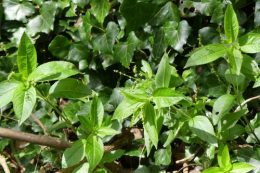 Dog's Mercury