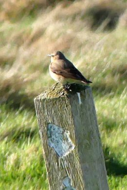 180425-GO-1709-Female wheatear on post