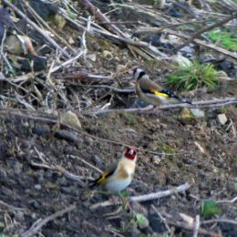 180425-GO-1730-Goldfinches on bank past church 1
