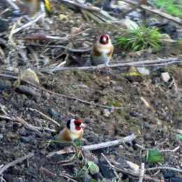 180425-GO-1730-Goldfinches on bank past church