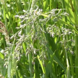 False Oat Grass