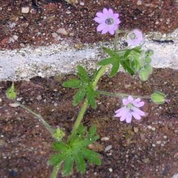 Dove's-foot Cranesbill