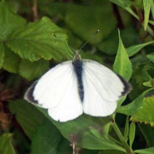 Large White male