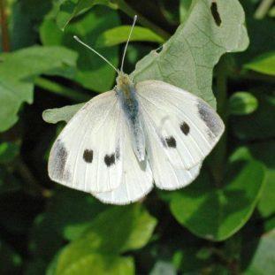 Large White female