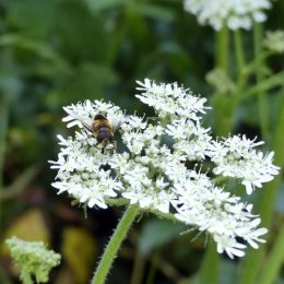 180807-1227-BEWT-17-Eristalis pertinax on hogweed (4)