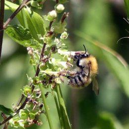 Common Carder Bee-Bombus pascuorum