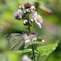 180807-1234-BEWT-21-Small White on bramble flower