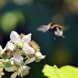 180807-1237-BEWT-23-Buff-tailed Bumblebee & bramble flower