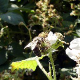Honeybee with torn wings