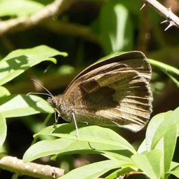 180807-1255-BEWT-35-Meadow Browns (2)