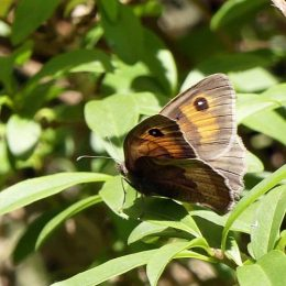 180807-1255-BEWT-35-Meadow Browns (3)