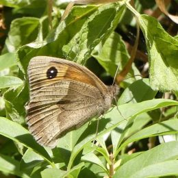180807-1255-BEWT-35-Meadow Browns (6)