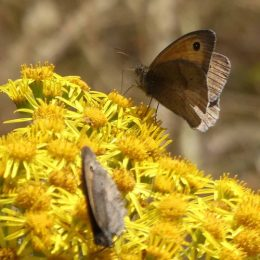 180807-1319-BEAF-2-Meadow Browns on Ragwort (2)