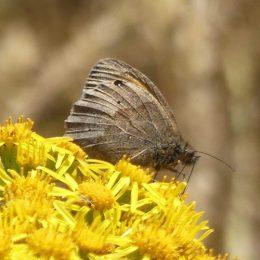 180807-1319-BEAF-3-Meadow Browns on Ragwort (3)