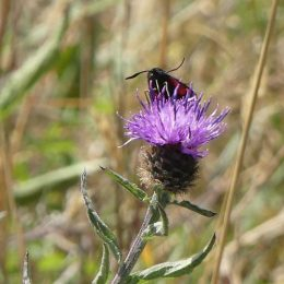 180807-1341-BELWSP-7-6-Spot Burnet on knapweed (1)