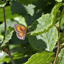 Gatekeeper (male)