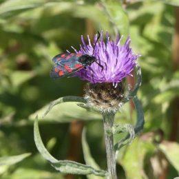 180807-1353-BELWSP-12-6 spot Burnet on knapweed (12)